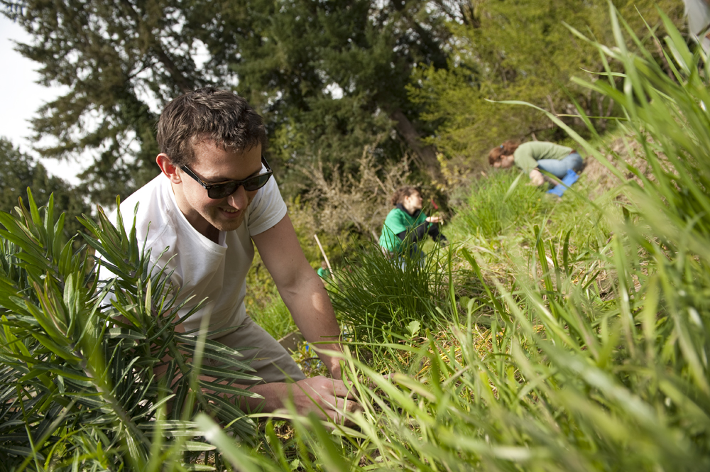 300 students volunteered for invasive plant removal.